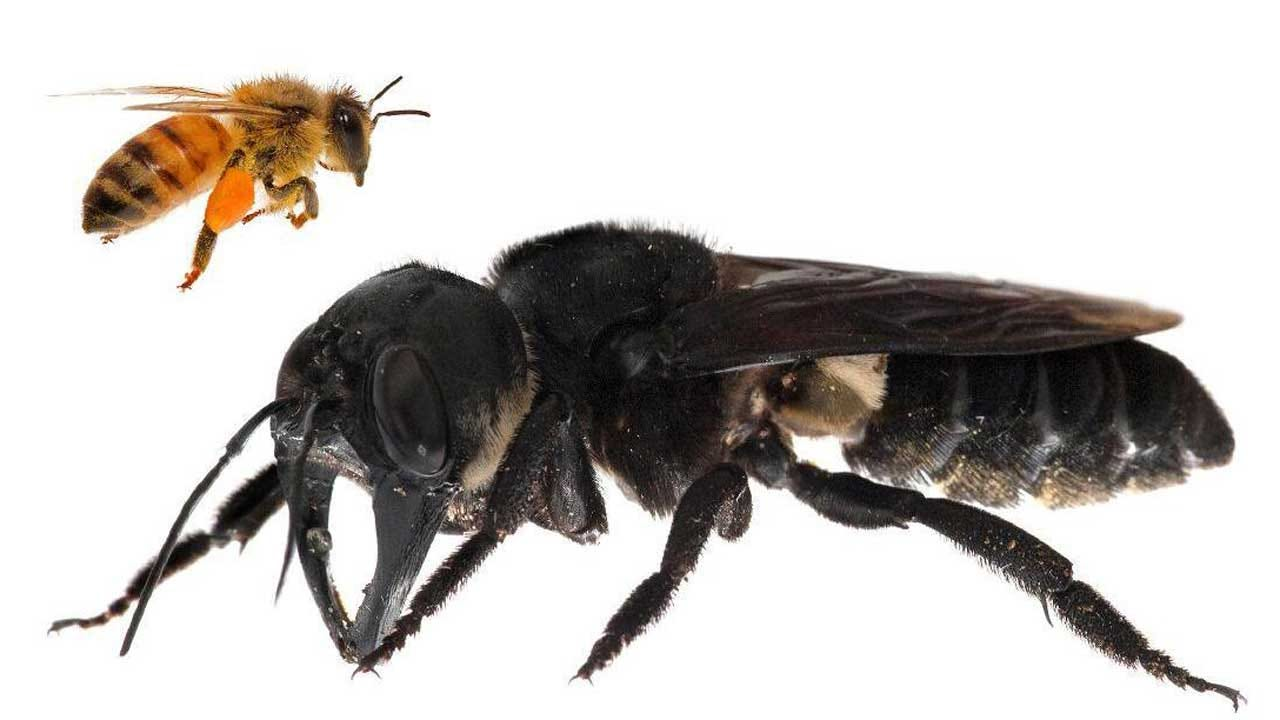 Giant 'Nightmare Bee' That Was Once Thought To Be Extinct Is Discovered Alive