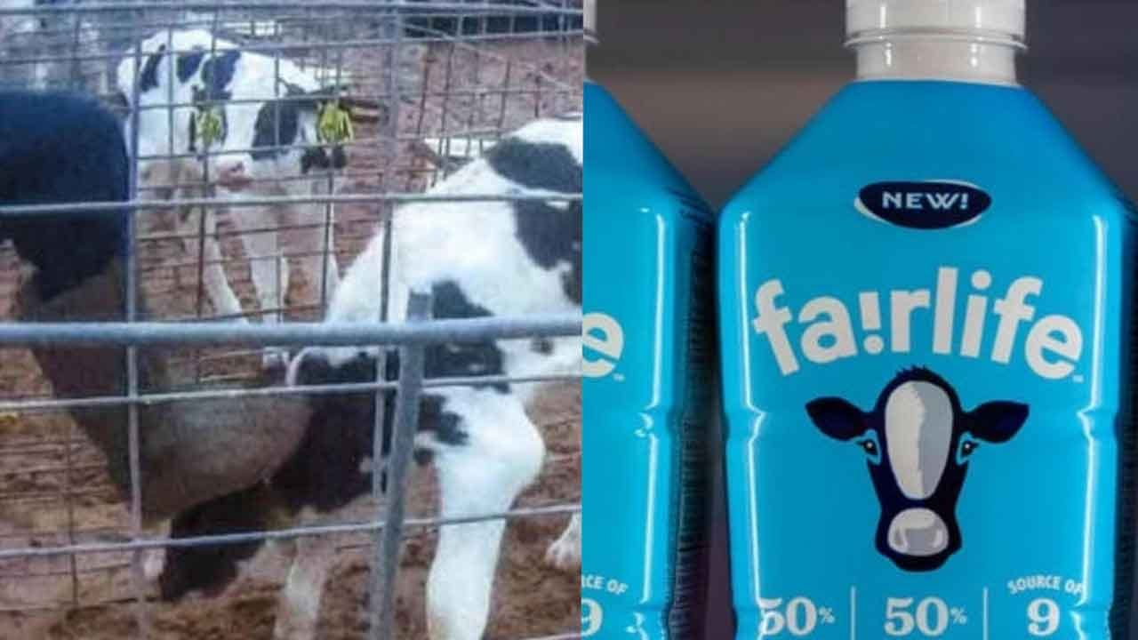 3 Charged With Animal Cruelty In Connection With Undercover Fair Oaks Farms Video