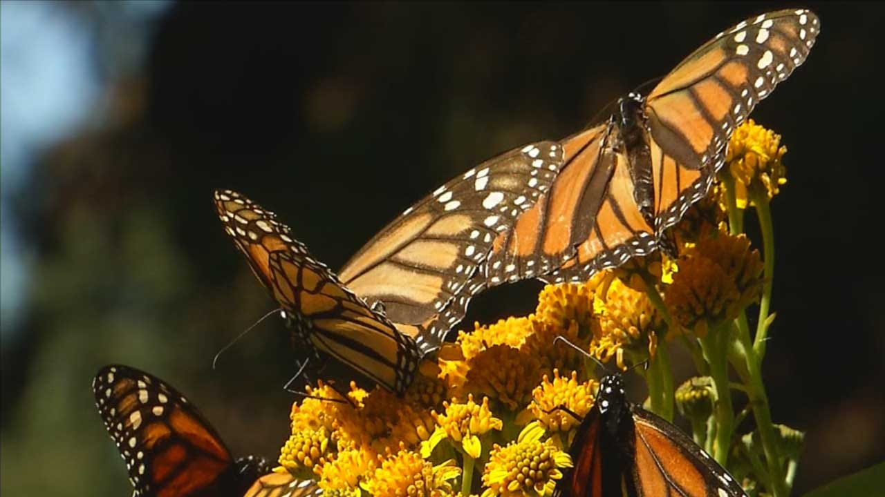 Oklahoma City Zoo Working To Prevent Monarch Butterfly Extinction